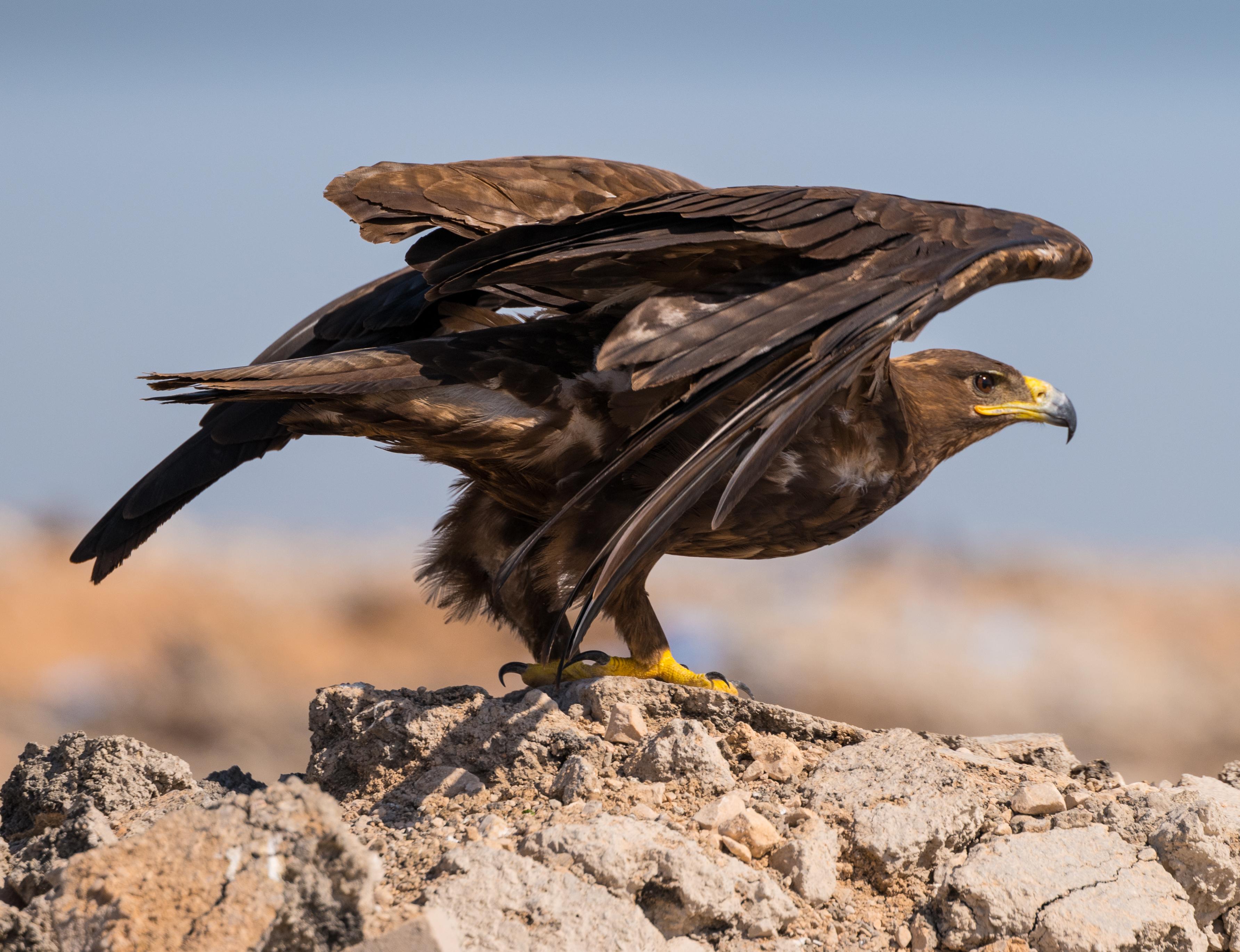Steppe Eagle _LeicaSL